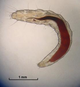 Flea_Larva