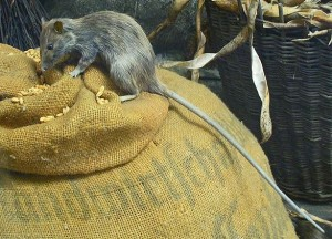 Roof_rat-(rattus_rattus)